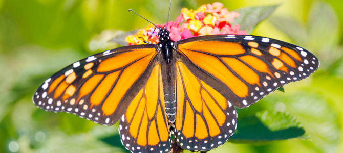 Supporting Monarch Butterflies in the Hollywood Hills