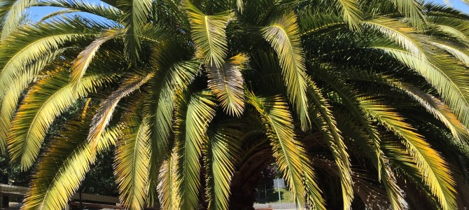 FOR SALE: Canary Island Date Palm Trees (a/k/a Pineapple Palm Trees)